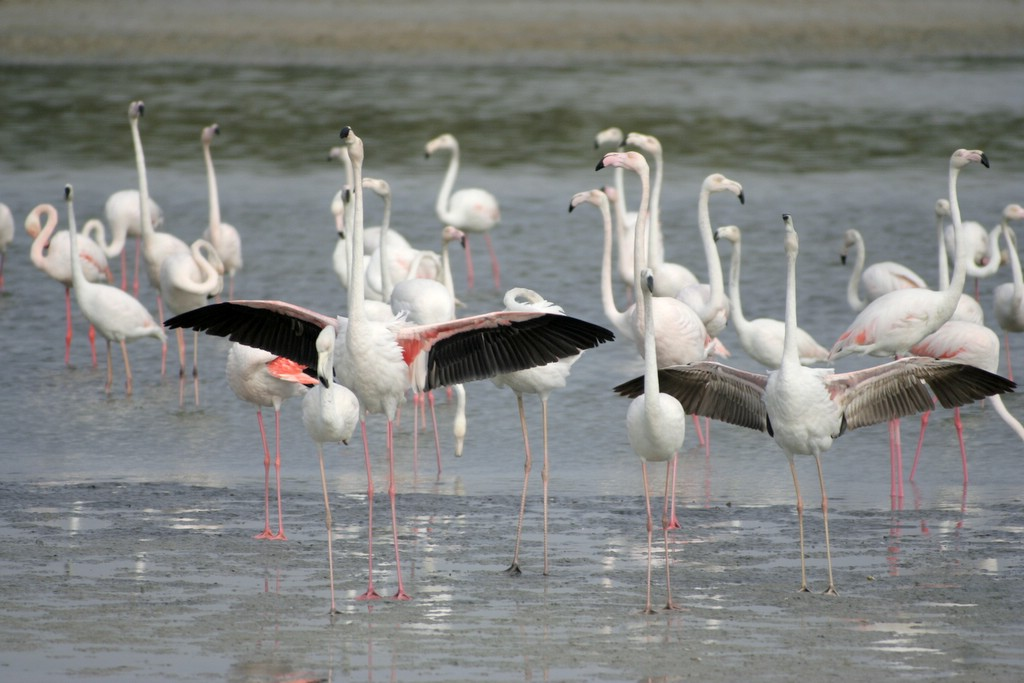 Greater Flamingos � Nishad H. Kaippally